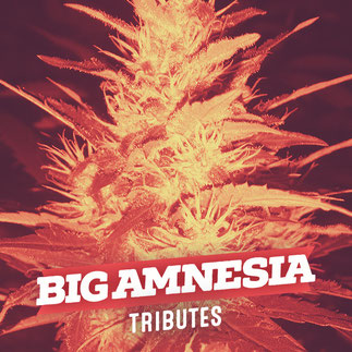 big amnesia semillas de marihuana big seeds