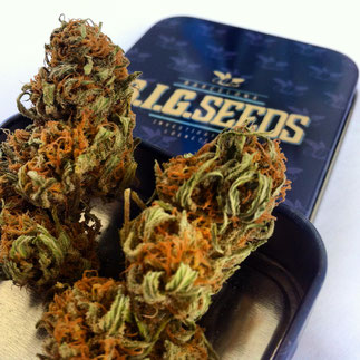 comprar semillas de marihuana al mayor