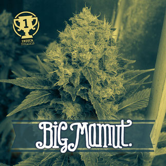 Big mamut, cogollo big mamut, big seeds semillas marihuana