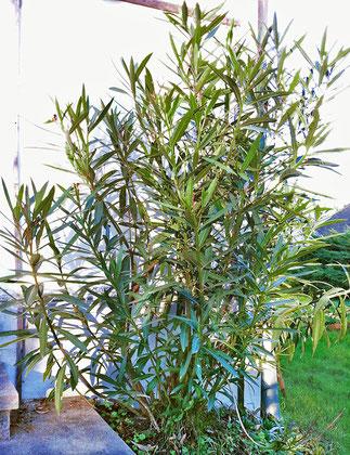 Oleander im Freien überwintern