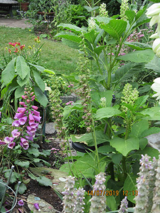 Breitblättrige Stendelwurz, heimische Orchidee