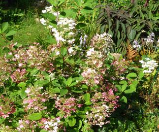 Eine Tellerhortensie in voller Blüte.