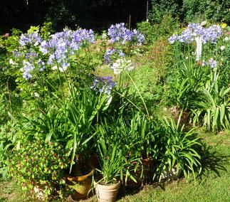 Agapanthus in voller Blüte.