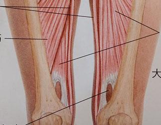 クリニカルマッサージより 内転筋管