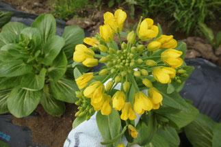 チンゲンサイの菜の花。ビューティフル!!