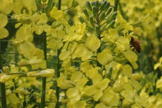 ブロッコリーの花と蜂(右側)