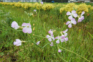 辛味大根の菜の花