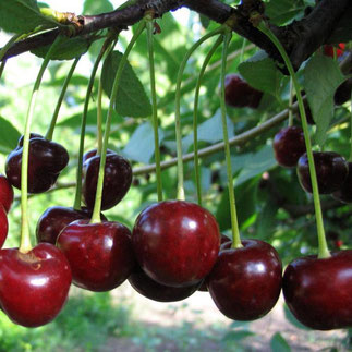 саженцы вишни Владимирской в Клину