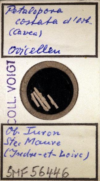 Bild 25 Bryozoa aus Sammlung Senckenberg Frankfurt; CC BY: Dr. Rainer Teubner