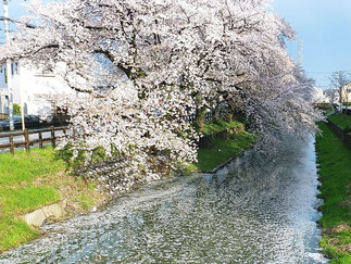 April: Sakura Blossom in Kawagoe, Saitama