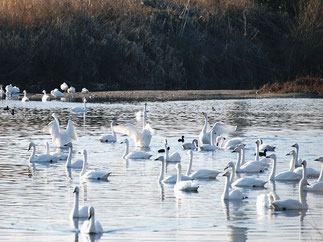 January: Whistle Swans in Kawajima, Saitama