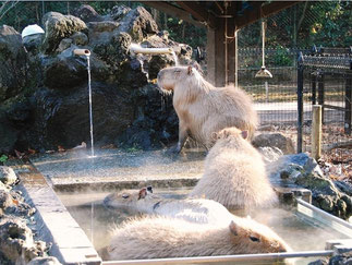 Dec: Capybara Hot Spa in Higashi Matsuymama