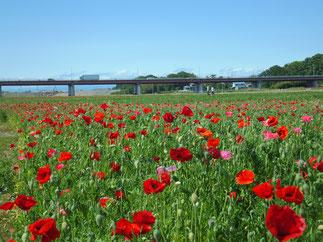 May: Popy in Konosu, Saitama