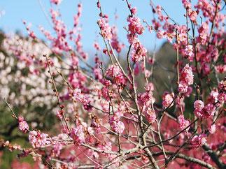 February: Japanese Apricot in Ogose, Saitama