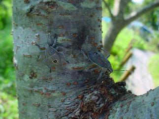 ソメイヨシノの幹で生活するキマダラカメムシ