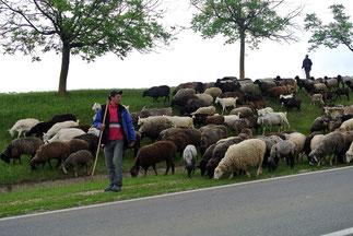 Schafherde in Moldawien