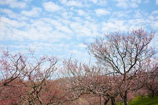 日本 北海道 札幌 梅公園