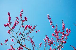 日本 北海道 札幌 紅梅