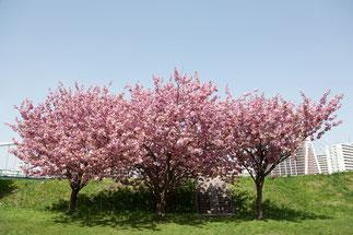 日本 北海道 札幌 河川敷の3本桜