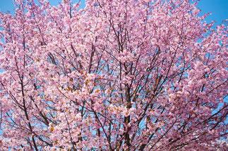 日本 北海道 札幌 咲き誇るさくら