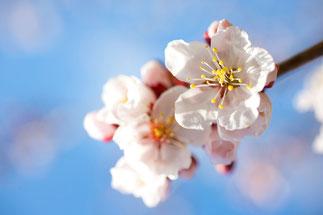 日本 北海道 札幌 梅の花