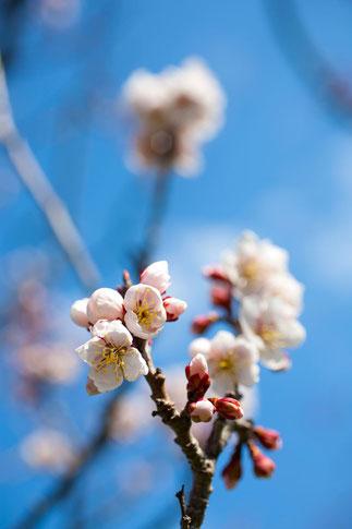 日本 北海道 札幌 梅のイメージ