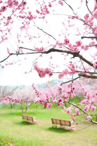 梅とベンチと晴れ日和