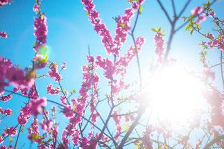 鮮やかな桜3
