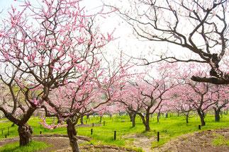 咲き乱れる梅