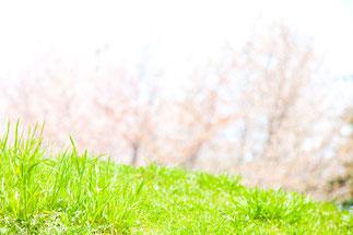 日本 北海道 札幌 新緑の緑とさくら