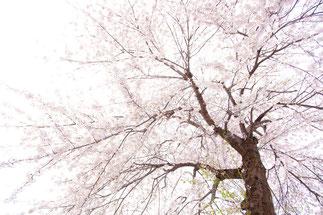 日本 北海道 札幌 cherry tree