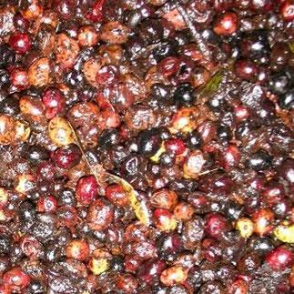 Diese Oliven in Ihrem Olivenöl vom Discounter