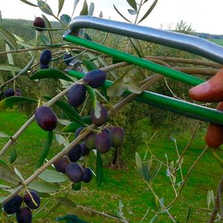 Olivenernte: gesund und frisch