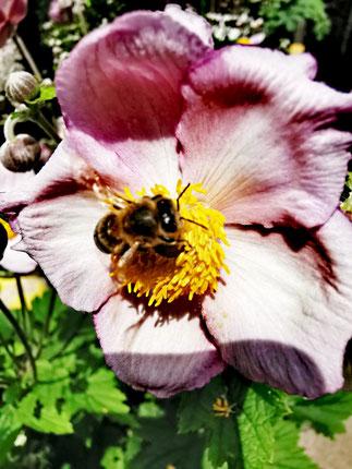 Rosa Herbstanemone mit hungriger Biene im Sonnenschein von Marc Wettering