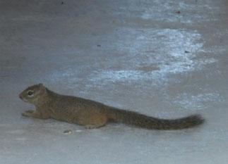 Ground squirrel at Etosha National Park