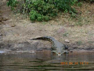 Nile Crocodile at Chobe national park