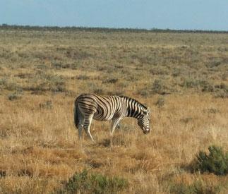 Plains zebra at Etosha National Park