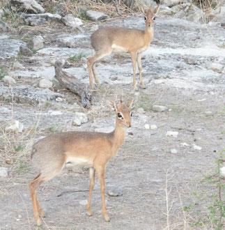 Damara Dik-Dik at Etosha National Park