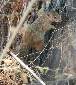 Tree squirrel at Etosha National Park
