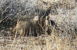 Banded mongoose at Etosha National Park