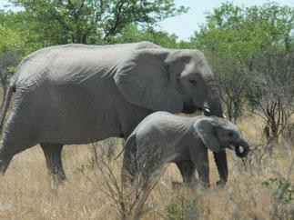 アフリカゾウ at Etosha National Park