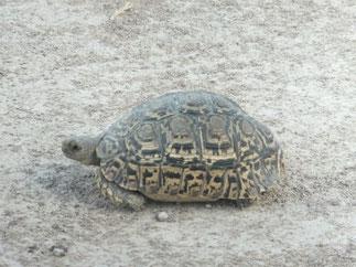 Leopard Tortoise at Etosha N.P