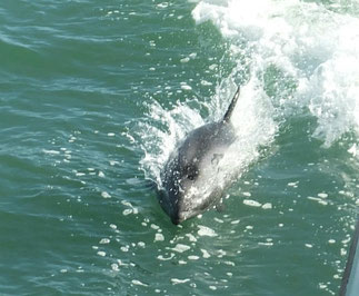 Heaviside's Dolphin at Luderitz