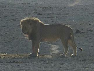 ライオン at Etosha 11月