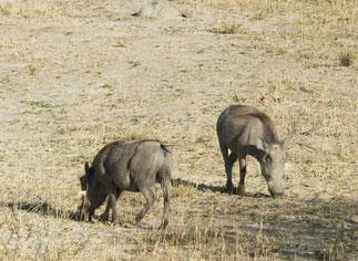 Common Warthog at Etosha National Park