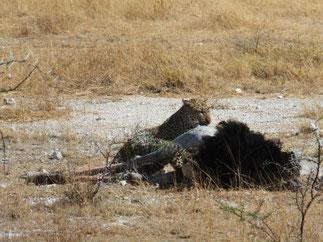 ヒョウ at Etosha National Park