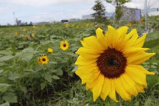 7月 ど根性ひまわり開花