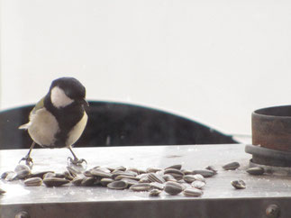 シジュウカラ、かわいい鳥さ!画像