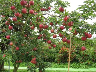 世界一のリンゴの木