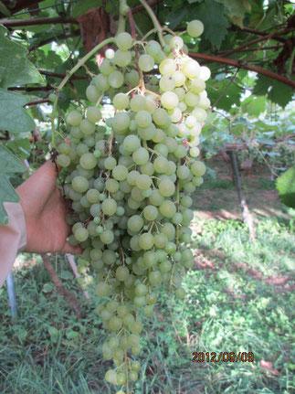ブドウの品種でネヘレスコールという珍しいぶどう